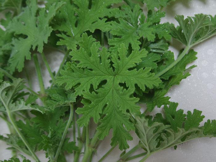 geranium-s