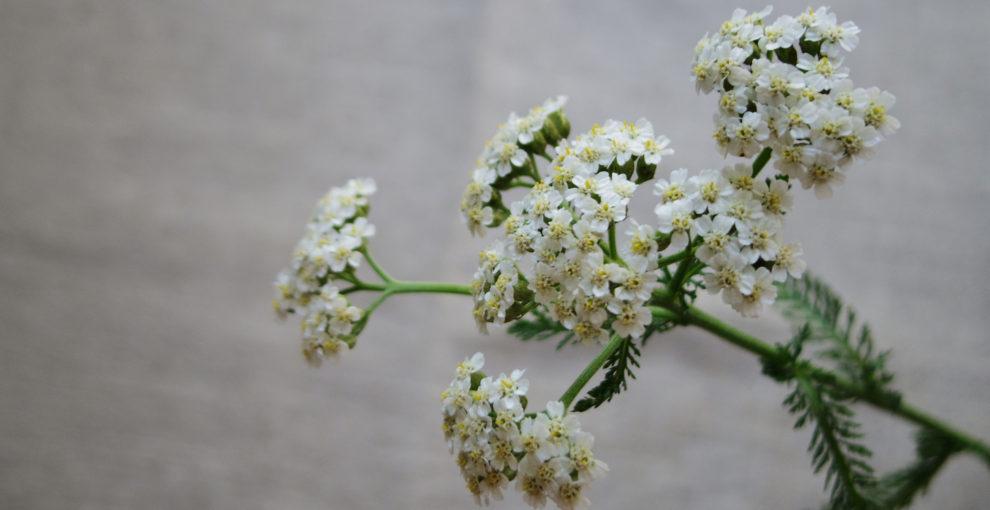 Achillea-millefolium-web3