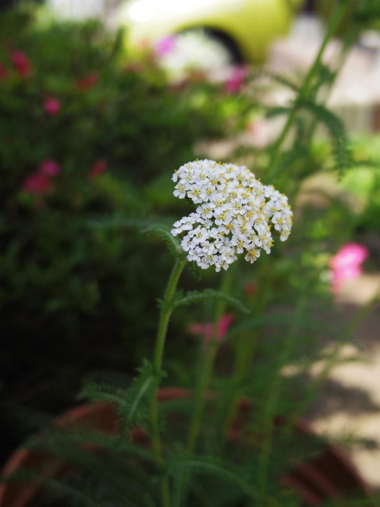 yarrow-garden