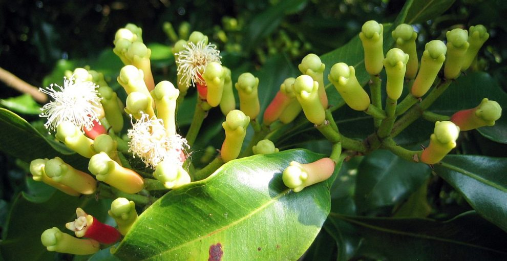 1280px-Syzygium_aromaticum_on_tree
